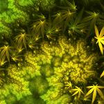 Why Do Marijuana Leaves Turn Yellow?